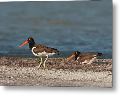 American Oystercatcher (haematopus Metal Print by Larry Ditto