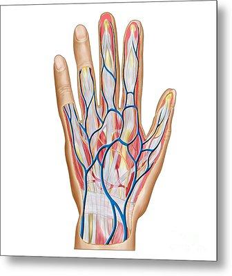 Anatomy Of Back Of Human Hand Metal Print by Stocktrek Images