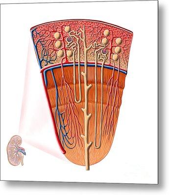 Anatomy Of Human Kidney Function Metal Print by Stocktrek Images