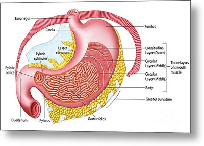 Anatomy Of The Human Stomach Metal Print by Stocktrek Images