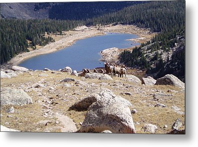 Big Horn Sheep Gang Metal Print