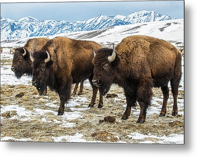 Bison In The 24,700-acre National Elk Metal Print