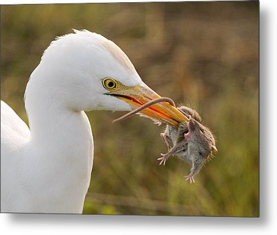Cattle Egret Metal Print by Doug Herr