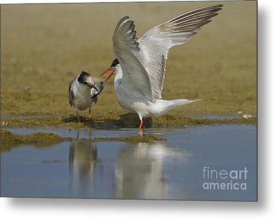 Common Tern Sterna Hirundo Metal Print by Eyal Bartov