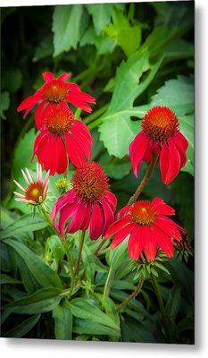 Coneflowers Echinacea Red Painted  Metal Print
