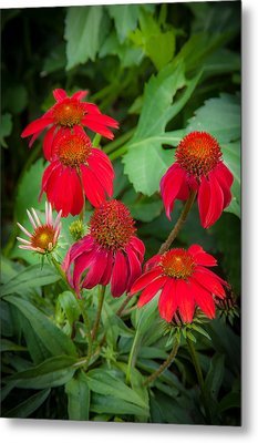 Coneflowers Echinacea Red  Metal Print