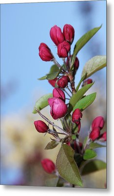 Crabapple Blossoms Metal Print by Vadim Levin