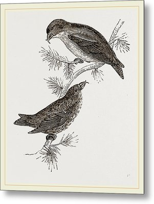 Crossbills Metal Print by Litz Collection