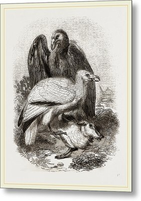 Egyptian Vultures Metal Print by Litz Collection