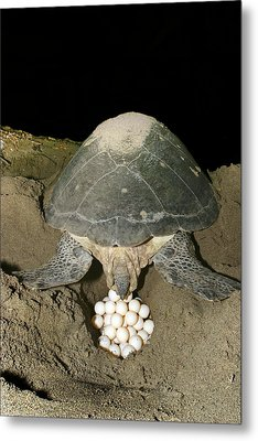 Green Turtle Laying Eggs Metal Print by M. Watson