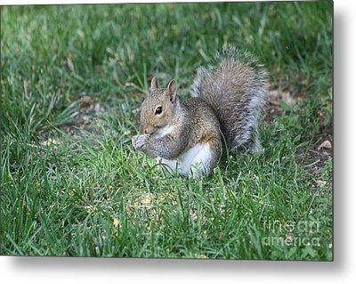 Grey Squirrel Metal Print by Lori Tordsen