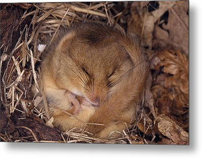 Hibernating Dormouse Metal Print