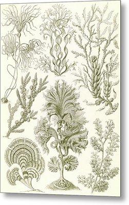 Illustration Shows Algae. Fucoideae. - Brauntange Metal Print by Artokoloro
