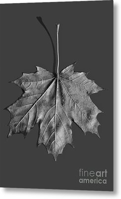 Maple Leaf Metal Print by Steven Ralser