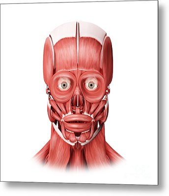 Medical Illustration Of Male Facial Metal Print by Stocktrek Images