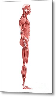 Medical Illustration Of Male Muscular Metal Print by Stocktrek Images