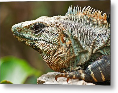 Mexican Iguana Metal Print by Paul Pascal