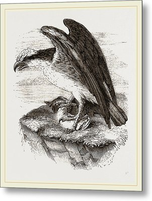 Osprey Metal Print by Litz Collection
