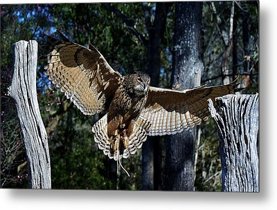 Owl In Flight Metal Print by Paulette Thomas