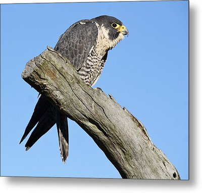 Peregrine Falcon Metal Print by Paulette Thomas