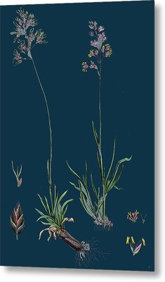 Poa Alpine Alpine Meadow-grass Metal Print