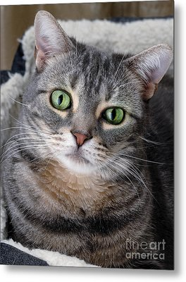 Portrait Of An Ameriican Shorthair Cat Metal Print by Amy Cicconi
