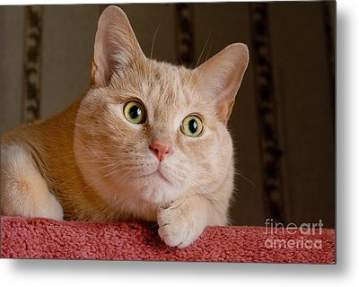 Portrait Orange Tabby Cat Metal Print by Amy Cicconi