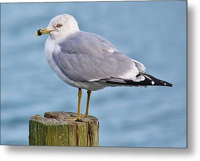 Pretty Sea Gull Metal Print by Paulette Thomas