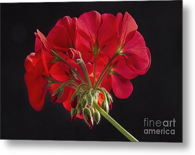 Red Geranium In Progress Metal Print by James BO  Insogna