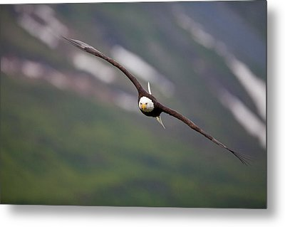 Soaring Bald Eagle Metal Print by Tim Grams