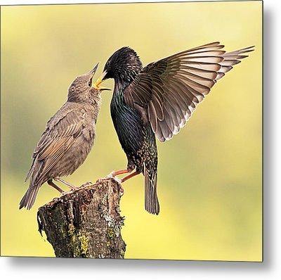 Starlings Metal Print by Grant Glendinning