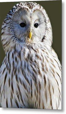 Ural Owl Metal Print by Paulette Thomas