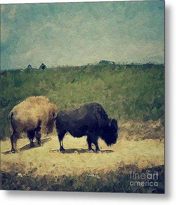 White And Black Buffalo Metal Print by Amy Cicconi