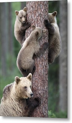 Young Bears Clinging To Tree Metal Print