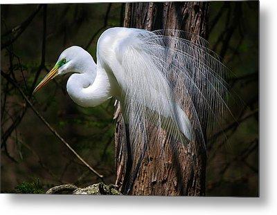 Great White Egret Metal Print by Paulette Thomas