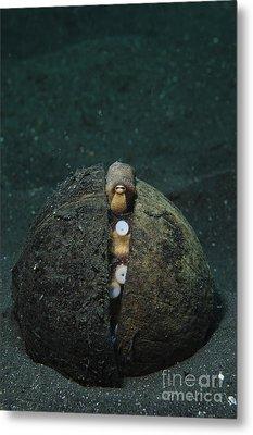 A Coconut Octopus, Lembeh Strait Metal Print by Steve Jones