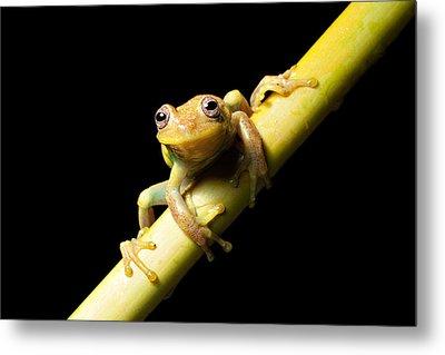 Tree Frog Metal Print by Dirk Ercken