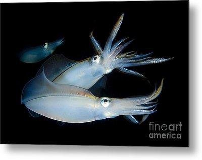 Bigfin Reef Squid Tending Eggs Metal Print by Steve Jones