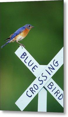 Eastern Bluebird (sialia Sialis Metal Print by Richard and Susan Day