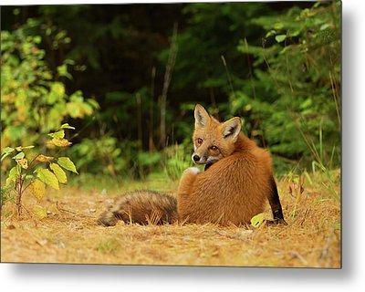 Red Fox - Algonquin Park Metal Print