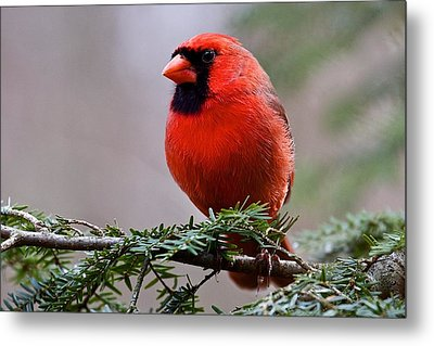 Northern Cardinal Male Metal Print by Dan Ferrin