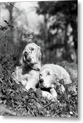 1920s Two Sweet English Setters Laying Metal Print