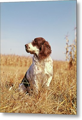 1970s Hunting Dog In Autumn Field Metal Print