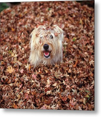 1990s Dog Covered In Leaves Metal Print