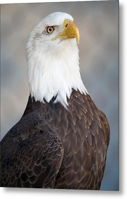 American Bald Eagle Metal Print by Paulette Thomas