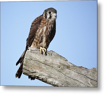 American Kestrel Metal Print by Paulette Thomas