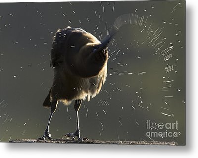 Boat Tailed Grackle Metal Print