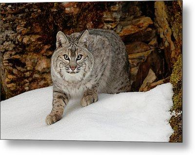 Bobcat In Snow (captive Metal Print