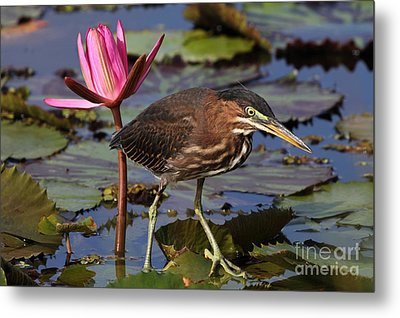 Green Heron Photo Metal Print