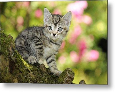 Kitten In Tree Metal Print by John Daniels